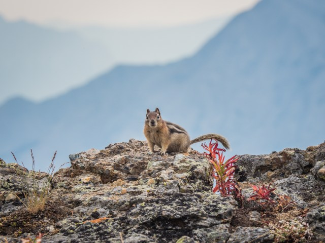 golden mantled ground squirrel and fall colour