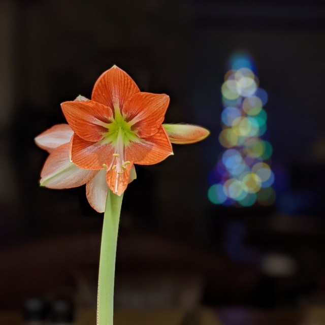 amaryllis blossom at Chrstmas