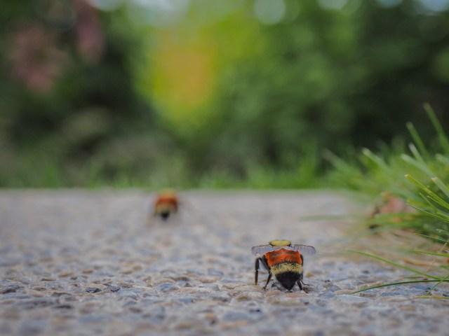 bumblebee-watching-adventure