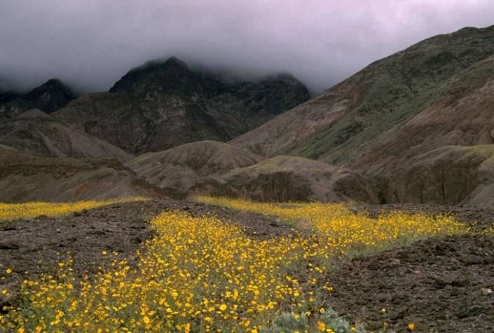 Spring flower bloom in Death Valley