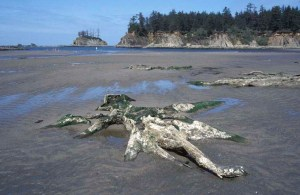 Drowned tree in surf zone, Oregon.