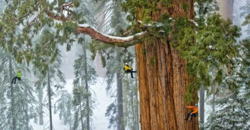 Giant Sequoia. Photo from National Geographic.