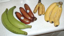 Left to right: plantains, red bananas, latundan, and Cavendish bananas. Image from en.wikipedia.org