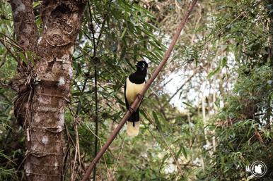 Un urraca comun à Iguazu, Argentine