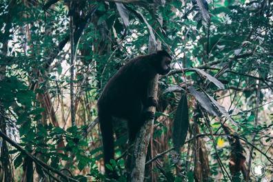 Un singe à Iguazu, Argentine