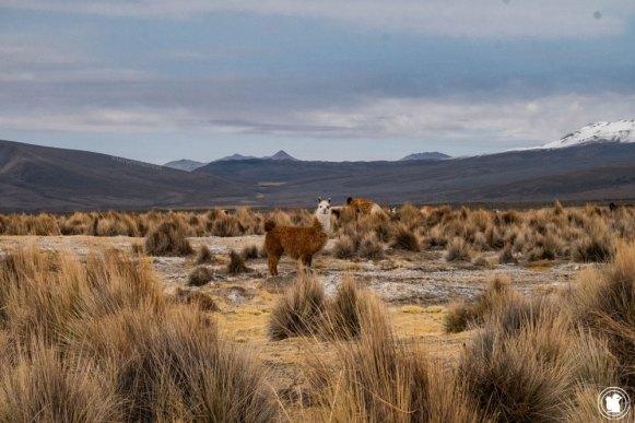 Alpaca dans le parc national Sajama en Bolivie