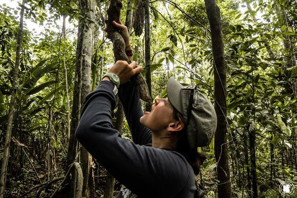 En Amazonie, certains lianes fournissent de l'eau pour s'hydrater