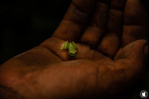 Grenouille d'Amazonie