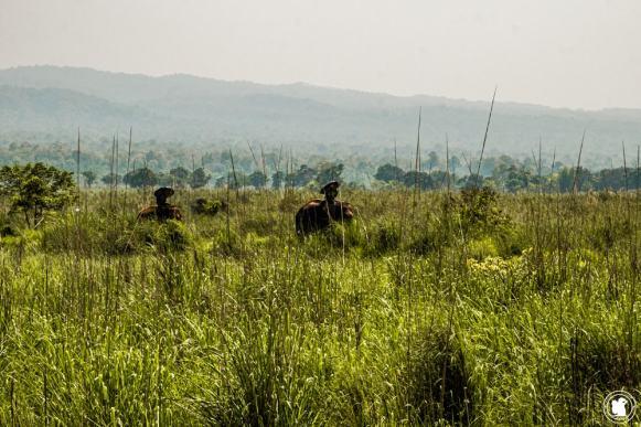 Éléphants montés dans le parc national Chitwan