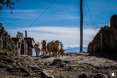 Des moutons sur l'Isla del Sol