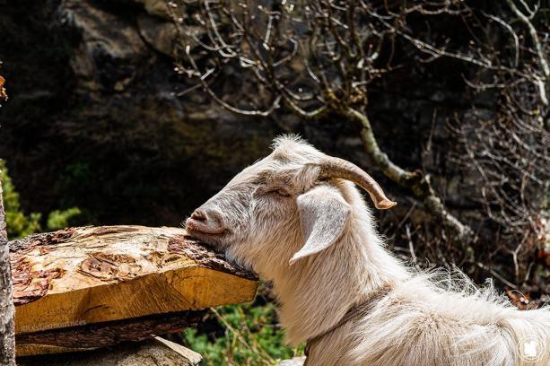 Trek des 3 cols - chèvre au repos