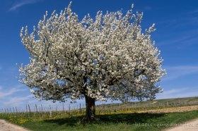 Kirschbaum im Frühling - Bild Nr. 201104091021