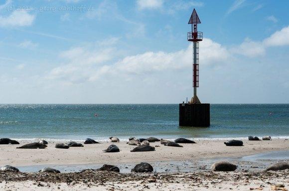 Seehunde und Kegelrobben am Strand - Bild Nr. 201306039004