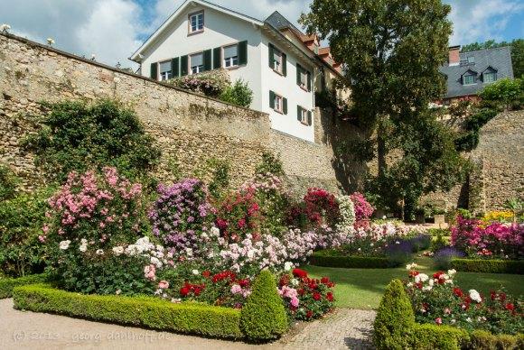 Rosengarten der Kurfürstlichen Burg - Bild Nr. 201306301472