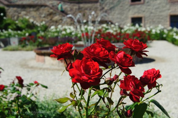 Rosen im Prälatengarten - Bild Nr. 201307210546