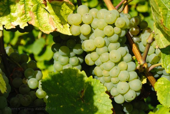 Weißweintrauben - Bild Nr. 201310031933