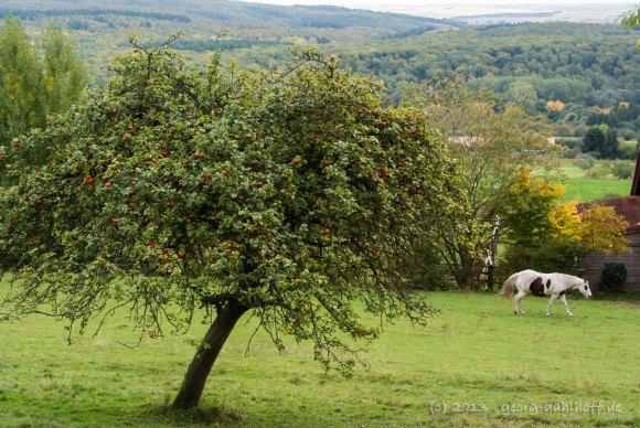 Apfelbaum auf einer Streuobstwiese - Bild Nr. 201310131976