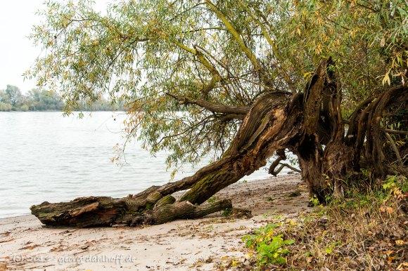 Alter Baum am Rheinufer - Bild Nr. 201311171709