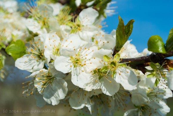 Kirschblüte - Bild Nr. 201404062724