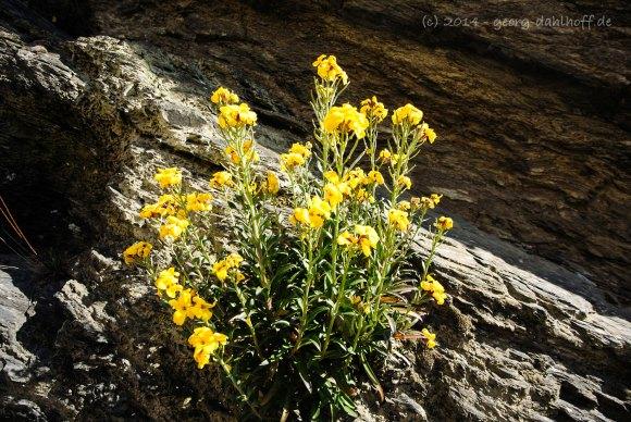 Es blüht aus Felsen und Mauern - Bild Nr. 201404132842