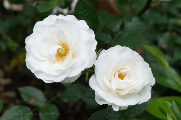 Weiße Rosen - Bild Nr. 201405290609