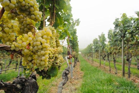 Wein in der Großlage 'Oppenheimer Krötenbrunnen' - Bild Nr. 201409063652