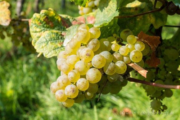 Reife Weißweintrauben - Bild Nr. 201410031425