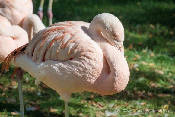 Flamingo - Bild Nr. 201410043892