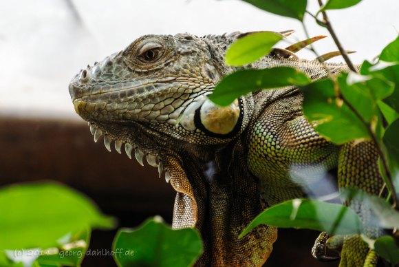 Grüner Leguan - Bild Nr. 201410043904