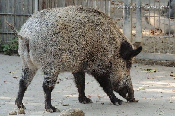 Wildschwein - Bild Nr. 201410043947