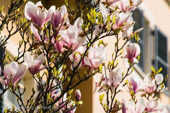 Magnolienblüte - Bild Nr. 201504122123