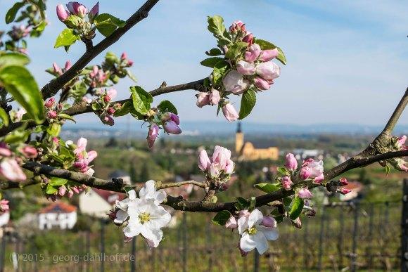 Apfelblüte - Bild Nr. 201504192223