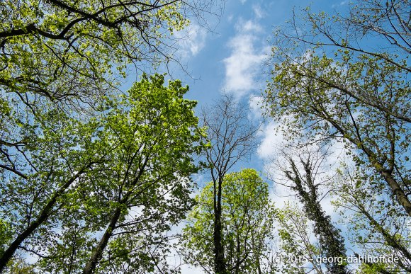 Lennebergwald: Blick in die Baumkronen - Bild Nr. 201504262361