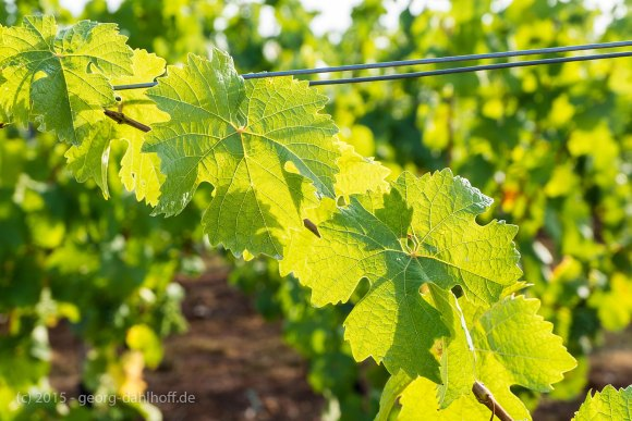 Lichtdurchflutetes Weinlaub - Bild Nr. 201508052751