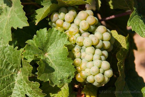 Weintrauben - Bild Nr. 201508230826