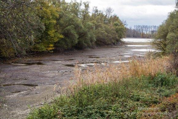 Niedrigwasser im Mühlarm des Rheins bei Nackenheim - Bild Nr. 201511154952