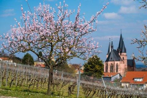 Mandelblüte in Oppenheim - Bild Nr. 201603264156