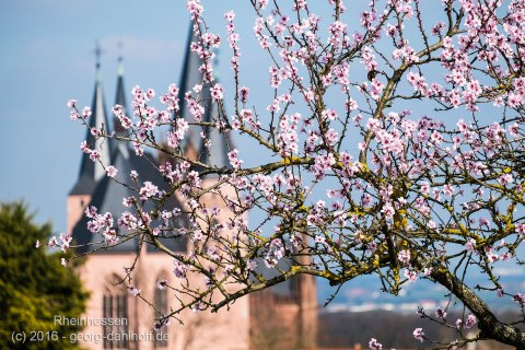 Mandelblüte in Oppenheim - Bild Nr. 201603264165