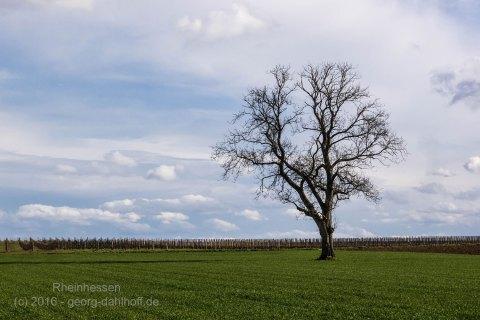 Walnussbaum zwischen Lörzweiler und Nierstein - Bild Nr. 201603271114