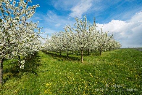Kirschplantage auf dem Königsstuhl - Bild Nr. 201604244226