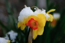 Daffodil with a snowy hat. March 2013
