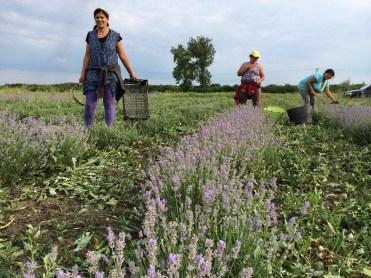 Simina grew up in Socodor, in Arad County, where her mom has a lavender field.