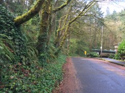 Ivy covers the hillside on SW Condor Lane near the start of 4-mile loop from Lair Hill to Marquam Hill.