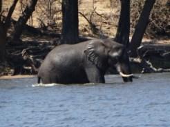 Bull elephant starting to cross the Chobe River for Sedudu Island