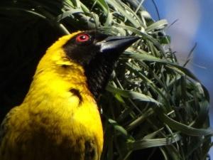 Southern masked weaver closeup.