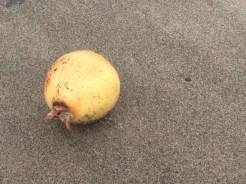 Have no idea what a medium yellow onion was doing on Winema Beach.