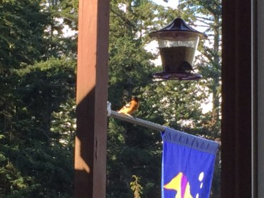 A black-headed grosbeak awaits his turn at the bird feeder on our porch.