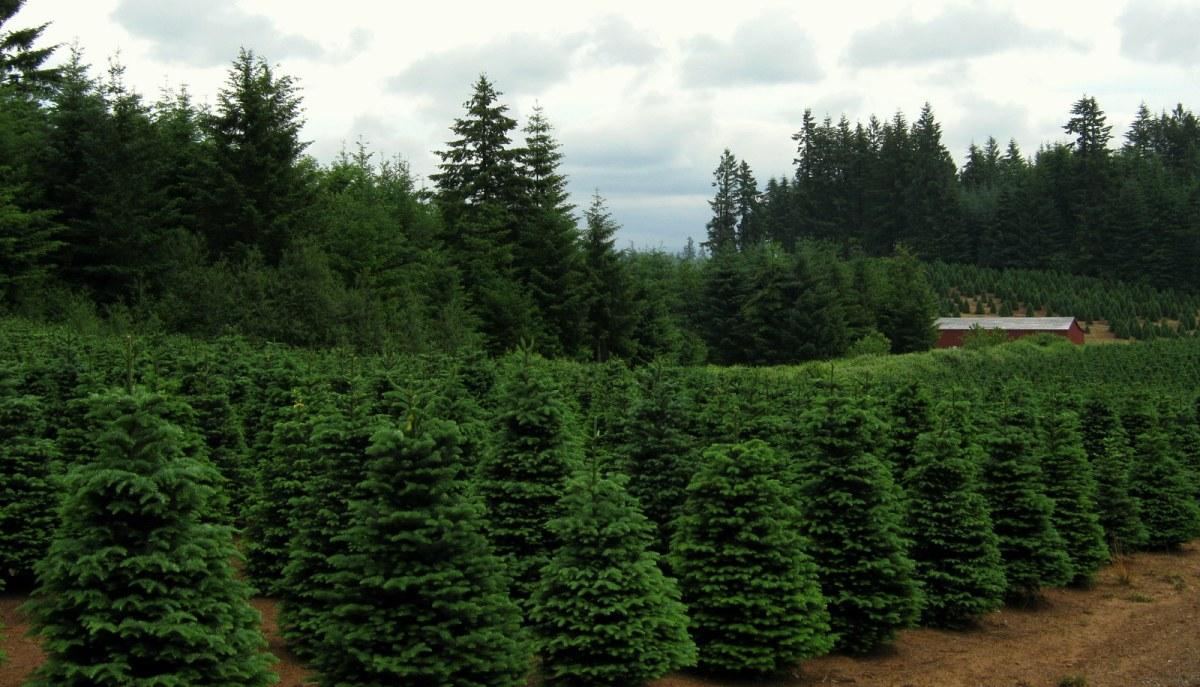 Christmas Trees to Oregon?  Coals to Newcastle?