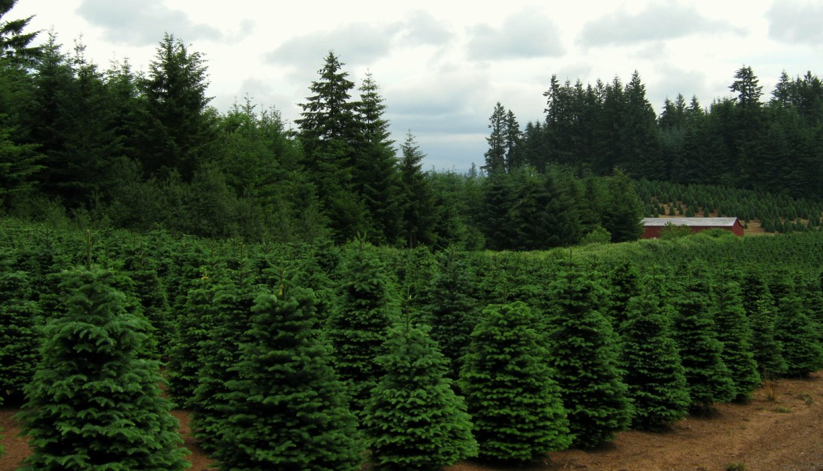 Christmas Trees to Oregon?  Coals to Newcastle?