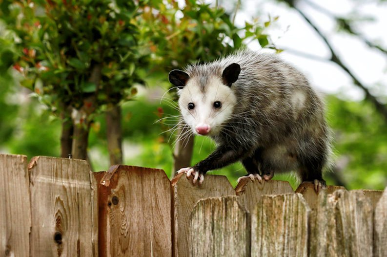 Police Chronicles: The Opossum Incident